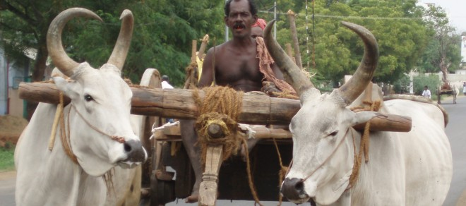 Indian man on a bollock cart